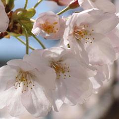 2012 年の桜の画像
