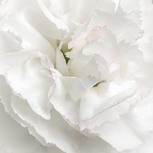 White_carnation